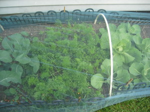Protection, vegetables, caterpillars, grow your own, allotment, netting, cabbages