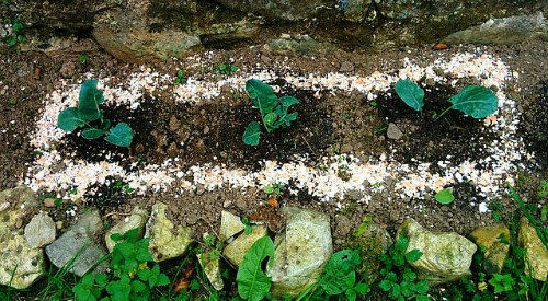 Slugs And Snails And Tales Of Puppy Dogs 8 Slug Control Tips Perfect Plants