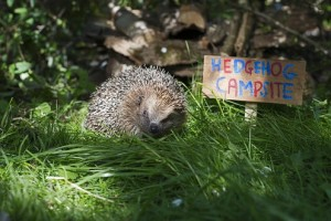 hedgehogs in garden eat slugs