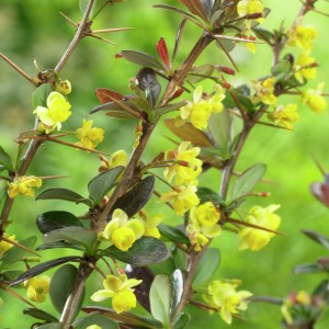 Berberis x media Red Jewel, berberis, clipping, buxus, gardening, disease