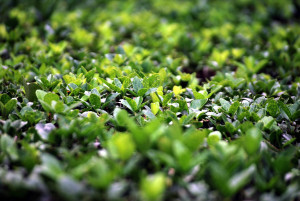 Buxus, box, blight, box blight, foliage, dying, evergreen, disease, fungus, browning