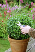box, buxus, clipping, gardening, evergreen, shaping, topiary, ball, disease, box blight