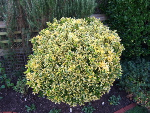Euonymus 'Emerald 'n Gold', euonymus, evergreen, topiary, clipping, gardening, alternative