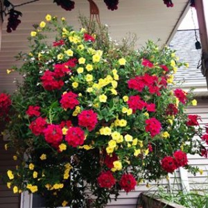 Hanging basket, plants, flowers, garden, watering, summer, hot, colour, drought