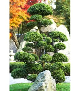 Ilex crenata, topiary, buxus, clipping, architectural, structure, evergreen, gardening