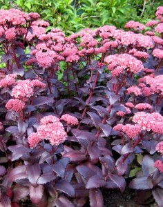 Sedum Purple Emperor, plants, drought tolerant, drought resistant, flowers, leaves, foliage, silver, waxy, succulent, summer, hot, heat, garden