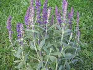 Sage, herb, ornamental, salvia, plant, garden, health, grow your own