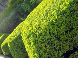 Shaped hedging, topiary, evergreen, clipping, plants, gardening, structure, architectural