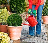 Buxus, watering, care, gardening, evergreen, box ball, box blight, pests, diseases