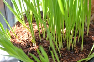 Cat grass, pets, health, grass, eat, garden, herbs