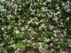 Jasmine, scent, climber, vertical, planting, gardens, wall, flowers