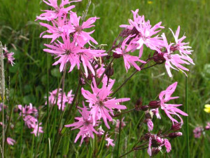 Ragged Robin, flowers, identification, names, plants, naming