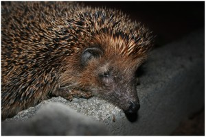 hedgehog, eats, pests, garden, slugs, biological, control