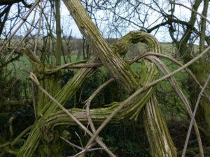 clematis, pruning, climbers, plants, woody, spring, garden
