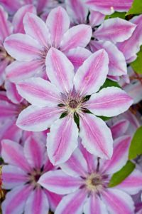 Clematis, nelly moser, colour, pink, stripy, climber, vine, garden, flowers