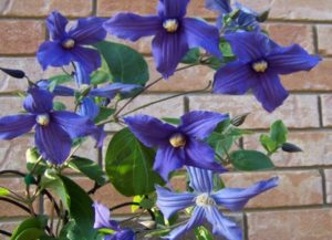 Clematis Group 3, clematis, climbers, flowers, garden, vines