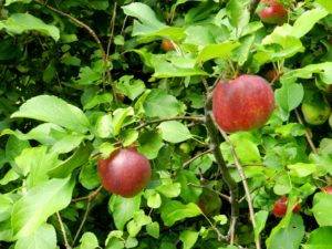 apple tree, apple, tree, fruit, growing, garden, espalier, cordon, grow your own