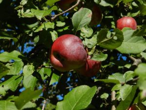 apple tree, apple, tree, garden, growing, grow your own, gardening, fruit