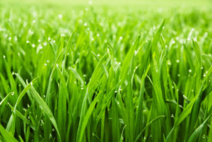 grass, dogs, cats, eat, digestion, chlorophyll, health, snack