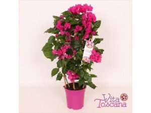 bougainvillea, climber, plant, climbing, tropical, weather, climate change, gardening, flowers, exotic, tropical, Vera Deep Purple