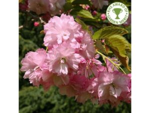Little Pink Perfection, Prunus, tree, ornamental cherry, flowering cherry, spring blossom, blossom, garden