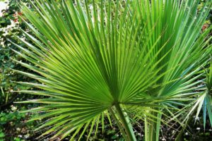 windmill palm, palm tree, palm, chusan, perfectplants.co.uk, house plants, garden plants, tropical plants, oasis, hardy palm,