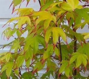 acer, tree, small tree, small gardens, garden, growing, planting, foliage