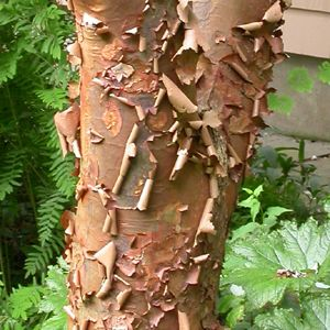 acer griseum, bark, interesting stem, tree, small tree, trunk, small gardens