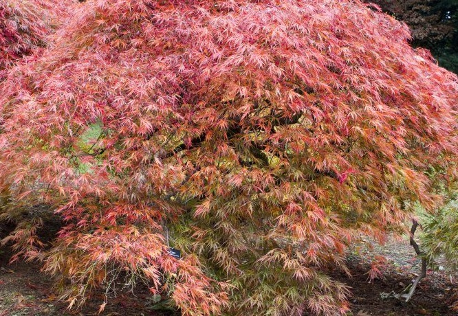 Ten trees suitable for small gardens it 39 s time to plant for Plants suitable for japanese garden