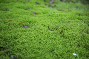 moss, lawn, moss in lawn, autumn, winter, grass, weeds, aeration