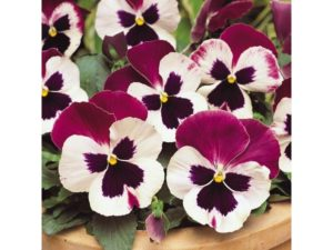 pansy, pansies, winter bedding, flowers, winter, garden, pots, containers, plants