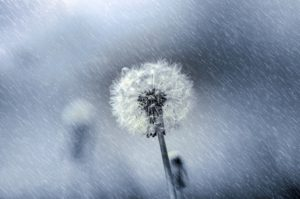 dandelion, weeds, growing, lawn, winter, autumn, cutting, length, mowing