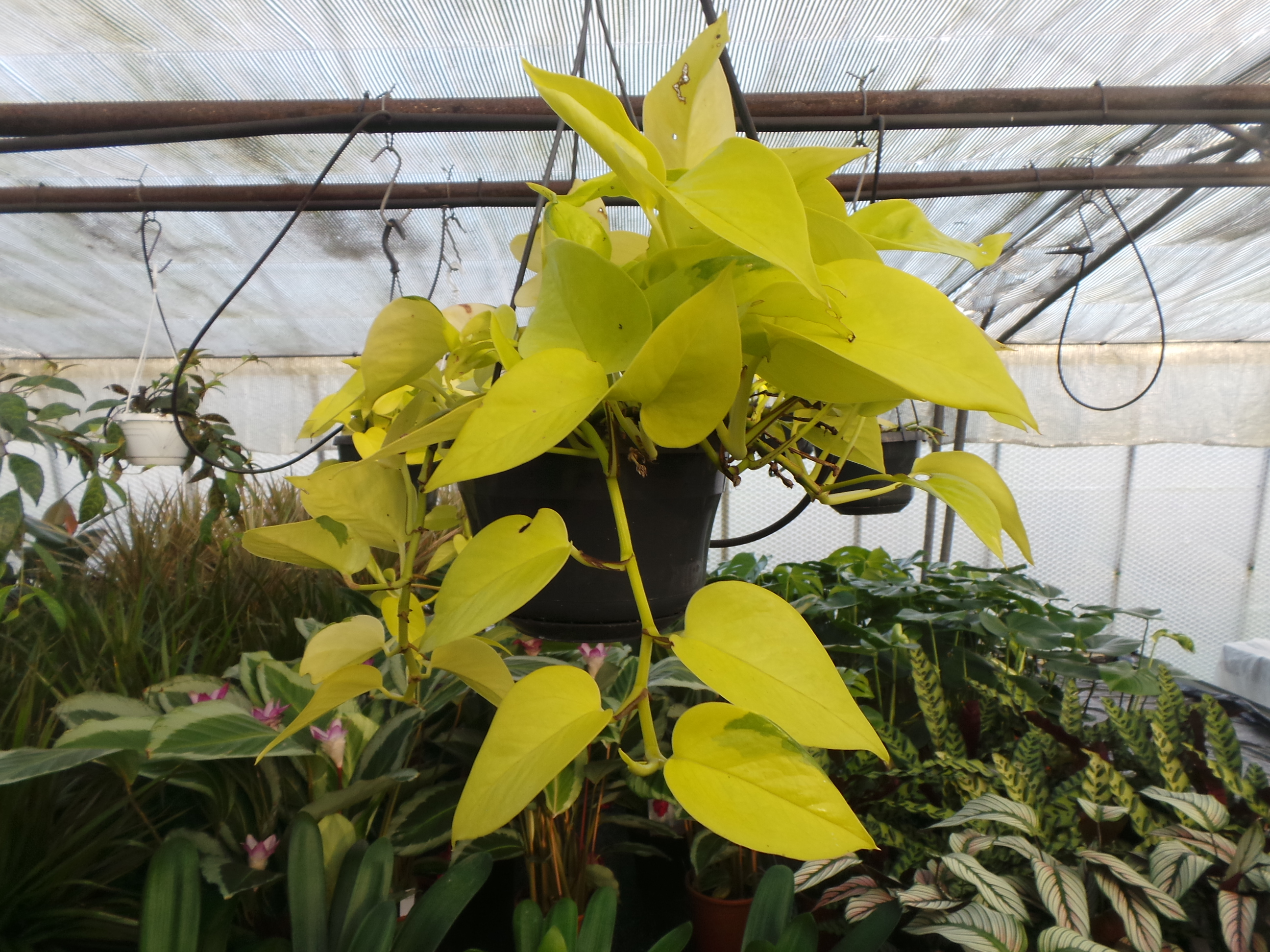 Jungle fever! The trend for large leafed house plants continues to ...