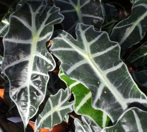 alocasia, Polly, houseplant, house plant, jungle, plant, decor, interior design, trend, 2016