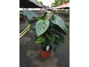 anthurium 'Black Queen', house plant, houseplant, interior decor, design, jungle