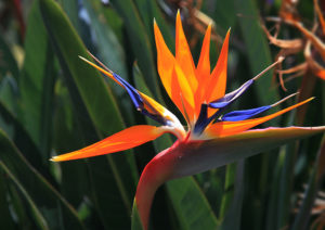 bird of paradise, strelitzia, flower, plant, house plant, tropical, jungle, decor