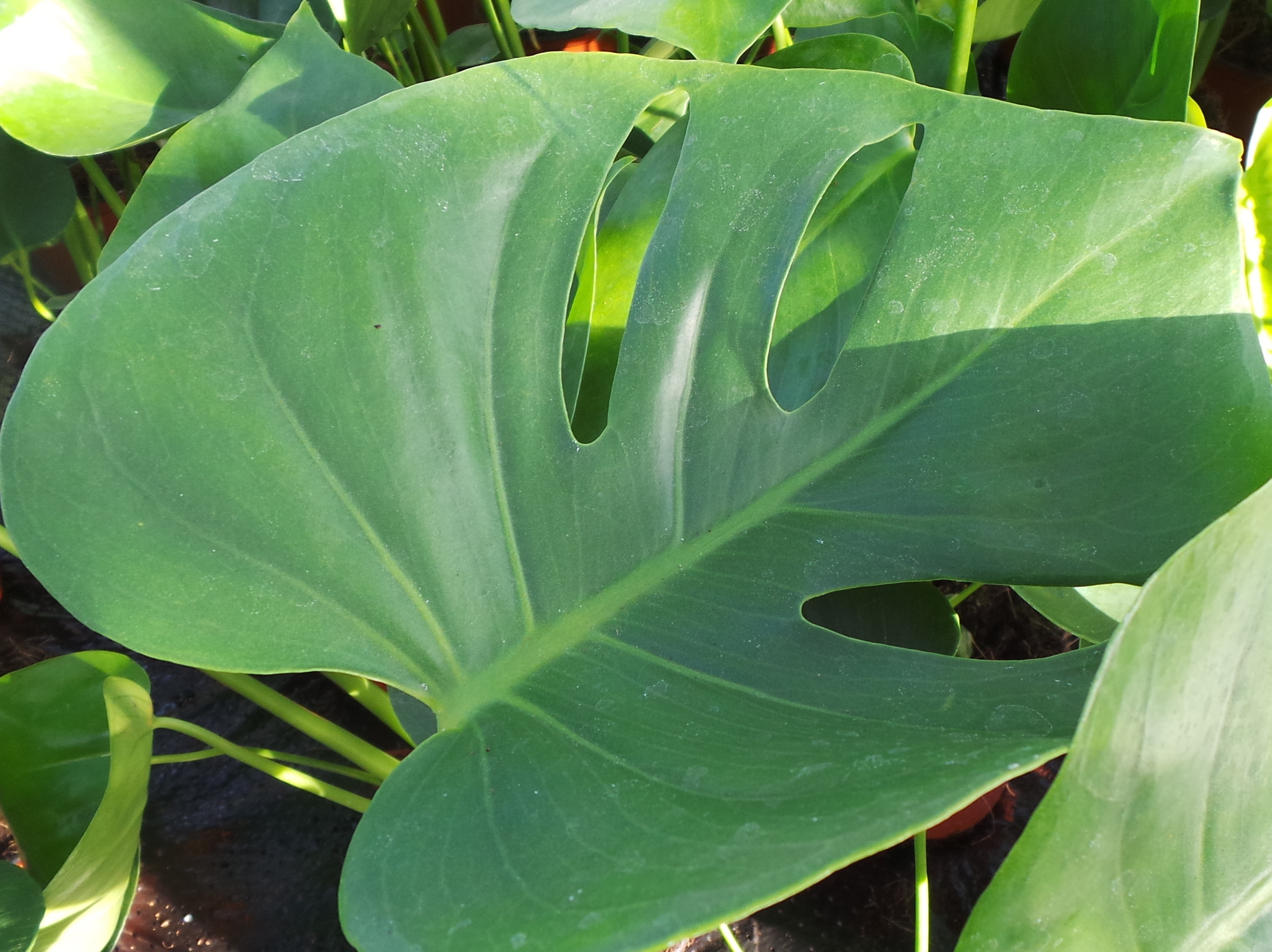 Jungle fever the trend for large leafed house plants continues to grow perfect plants - Leafy houseplants ...
