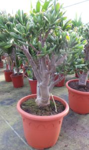 crassula hobbit, succulent, house plant, houseplant, tree, interior design