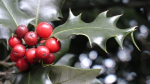 holly, Christmas, Ilex, decorations, red, berries, glossy, green, foliage, wreath, festive, swag