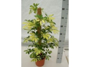 umbrella plant, houseplant, house plant, schefflera, plant, decor, interior design