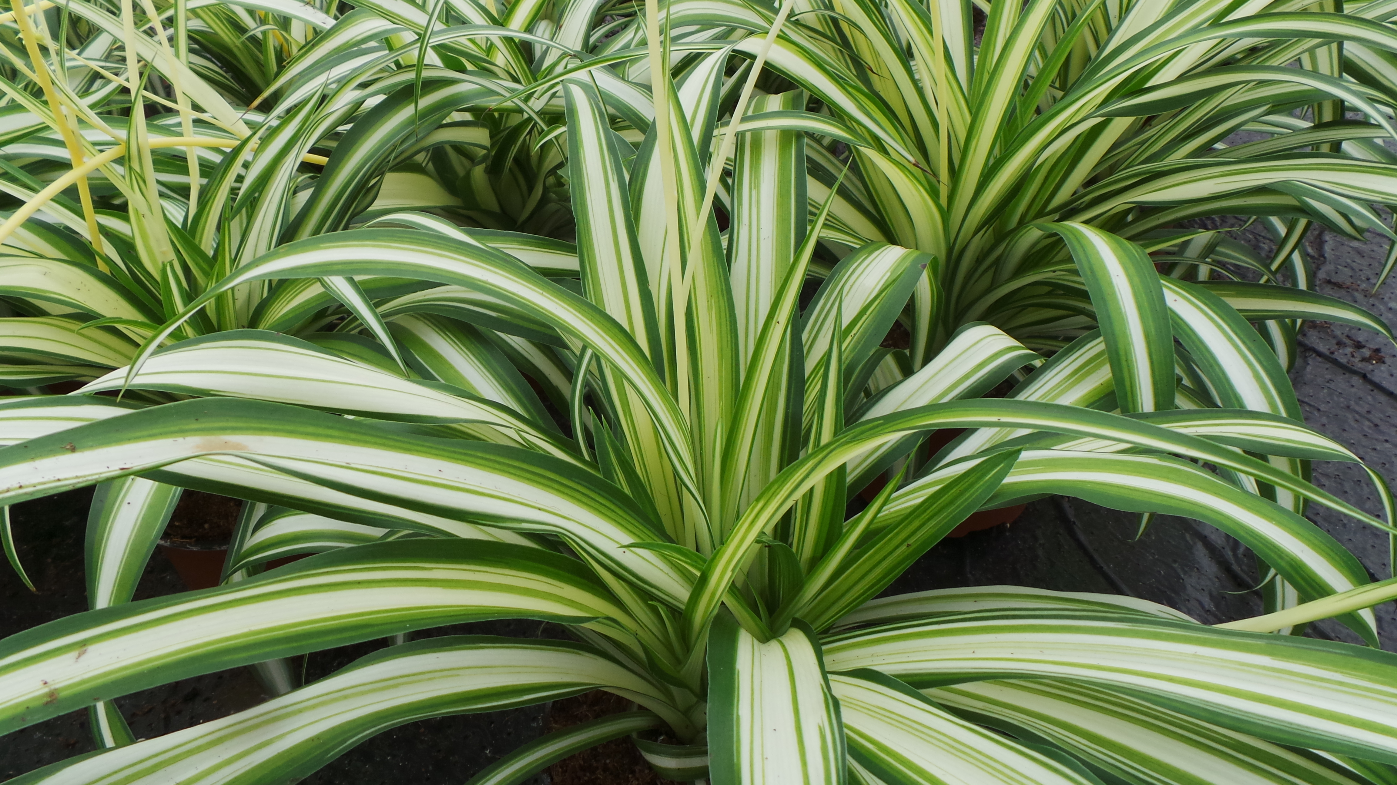 How plants can help your allergy and make a perfect gift perfect spider plant chlorophytum health houseplant house plant house plant izmirmasajfo Gallery