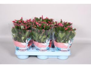 Christmas cactus, Schlumbergera, plants, flowers, christmas, gift, festive