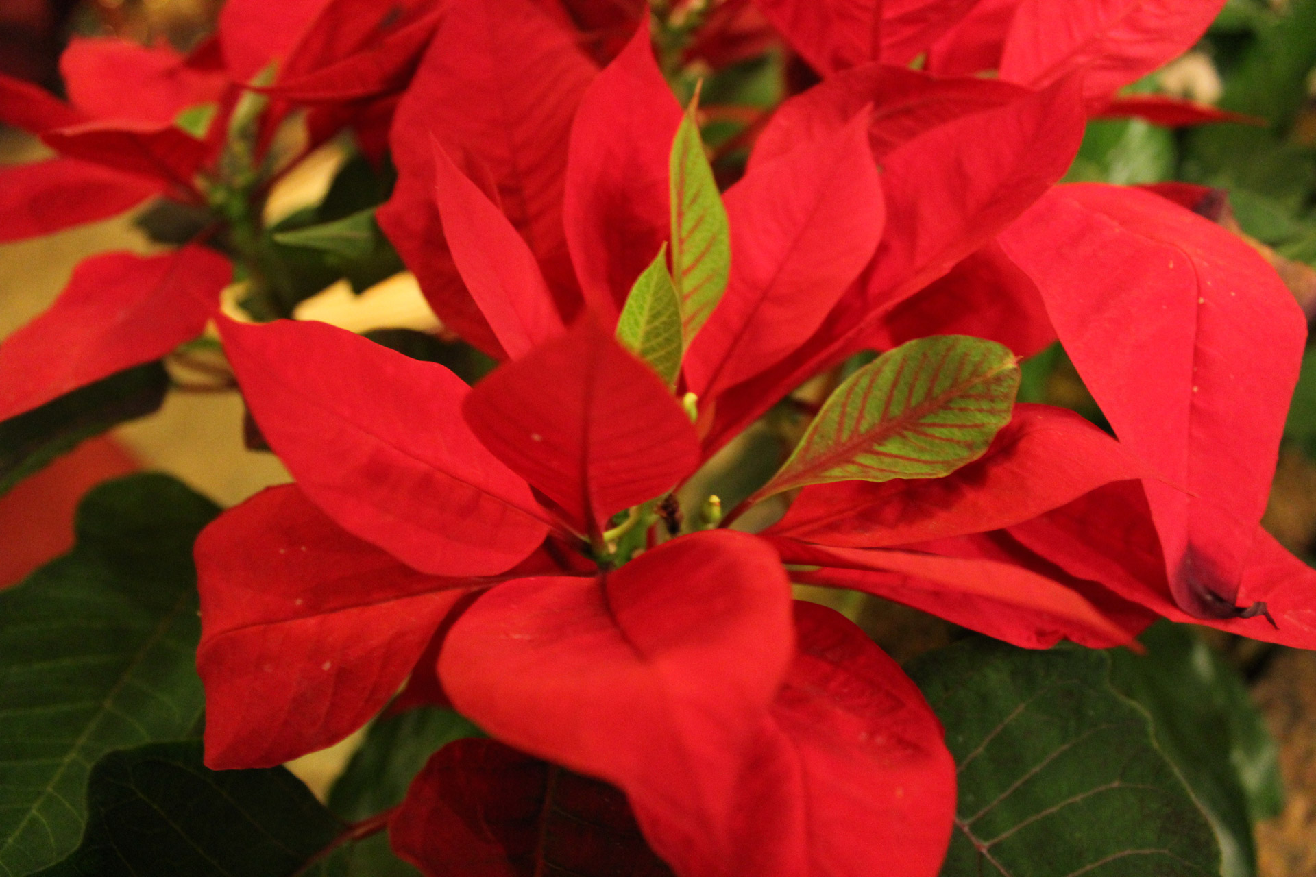 The 3 Most Popular Festive Plants Bringing Christmas Cheer