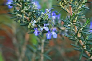 rosemary, herb, plant, growing, festive, christmas, friendship, aromatic