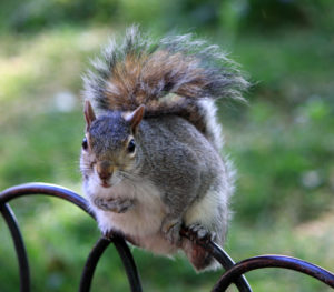 willdlife, grey squirrels, gardens, winter, feeding, watching, nature