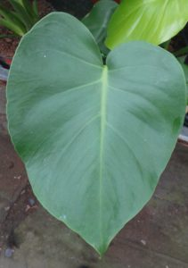 Monstera. cheese plant, house plants, houseplants, growing, air, health, gift, plant, cheese, heart