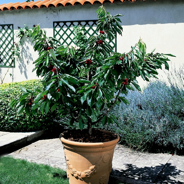 how to prune a tree to keep it small