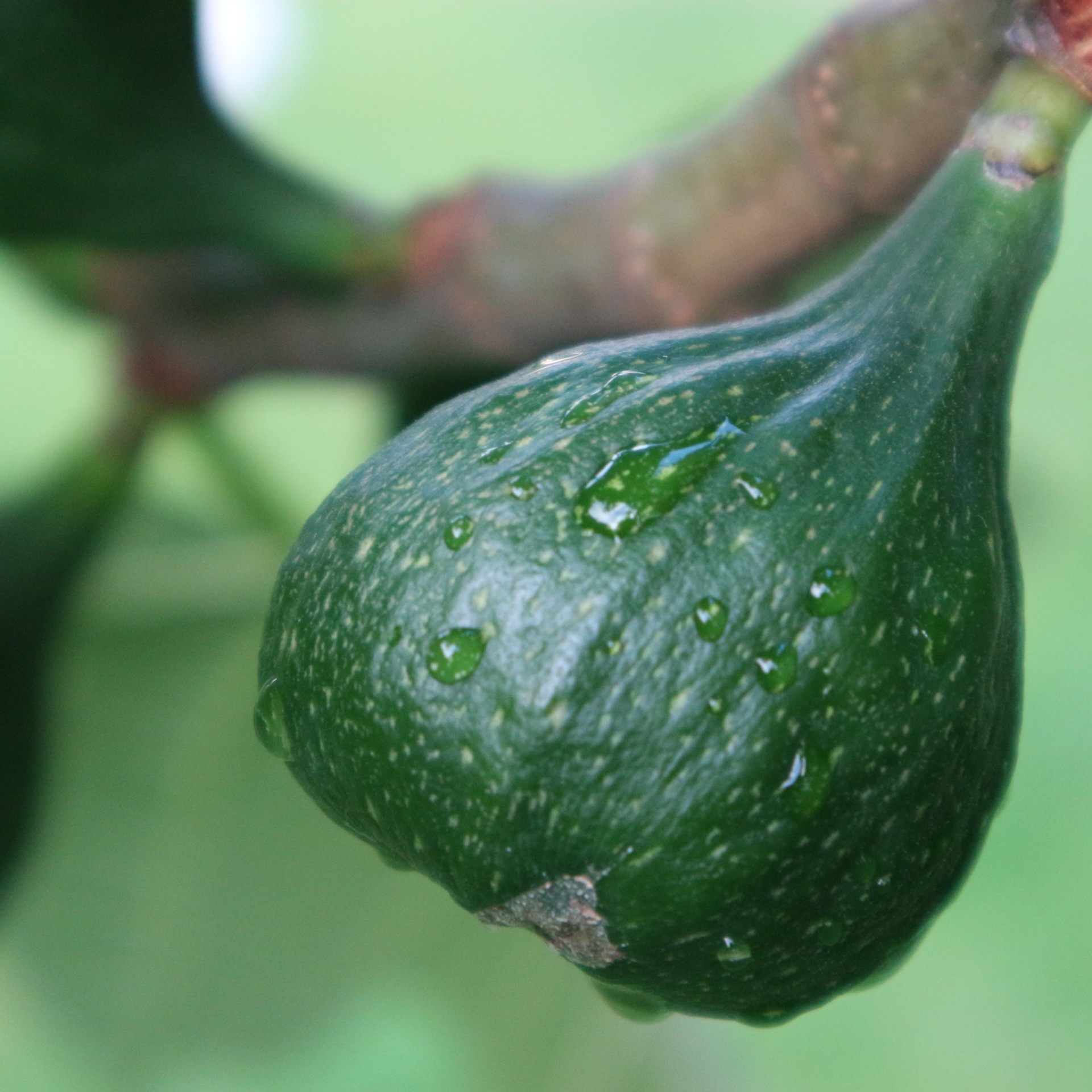 How To Grow Fig Trees In The UK. Ficus Are Fun And The