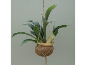 staghorn fern, stagshorn, fern, house plant, hanging, green, plant, kokedama