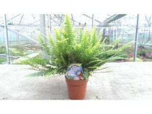 Green lady, fern, ferns, nephrolepsis, indoors, house plant, houseplant, plant, filter, toxins